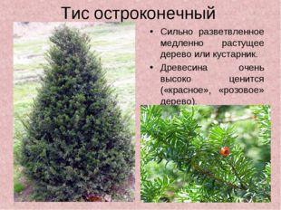 Тис остроконечный Сильно разветвленное медленно растущее дерево или кустарник