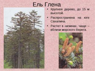 Ель Глена Крупное дерево, до 15 м высотой. Распространена на юге Сахалина. Ра