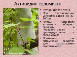 Актинидия коломикта Кустарниковая лиана. При благоприятных условиях живёт до