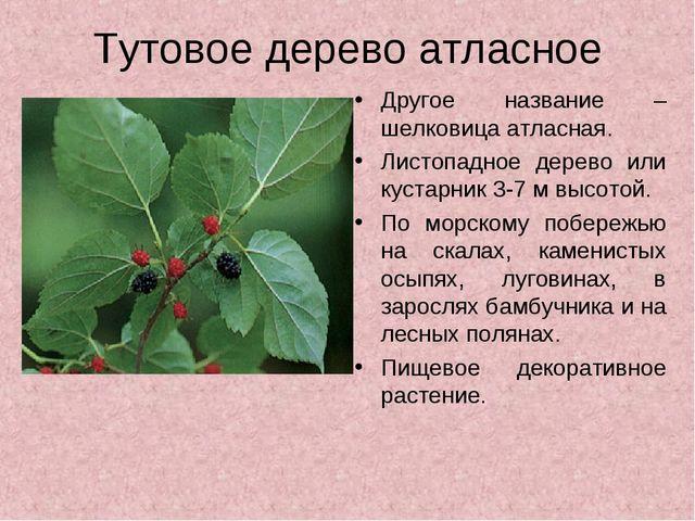 Тутовое дерево атласное Другое название – шелковица атласная. Листопадное дер...