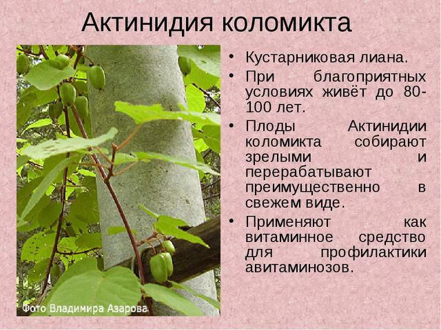 Актинидия коломикта Кустарниковая лиана. При благоприятных условиях живёт до...