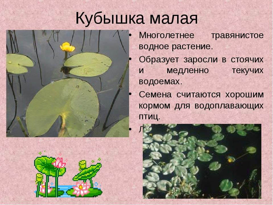 Кубышка малая Многолетнее травянистое водное растение. Образует заросли в сто...