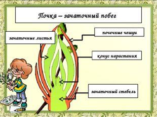 Строение почек почечные чешуи зачаточные листья конус нарастания зачаточный с