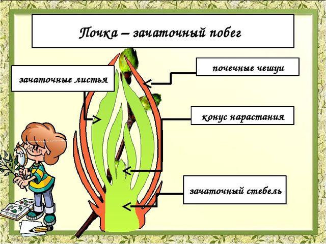 Строение почек почечные чешуи зачаточные листья конус нарастания зачаточный с...