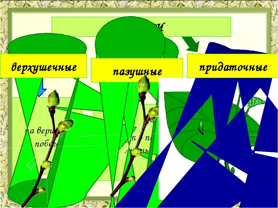 ПОЧКИ на вершине побега растут в пазухах листьев Развивают-ся на междоузли-я...