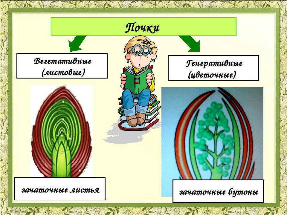 Почки Вегетативные (листовые) Генеративные (цветочные) зачаточные листья зач...