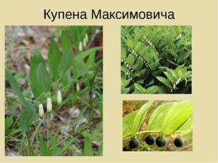 Купена Максимовича