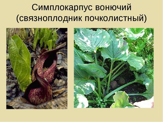 Симплокарпус вонючий (связноплодник почколистный)