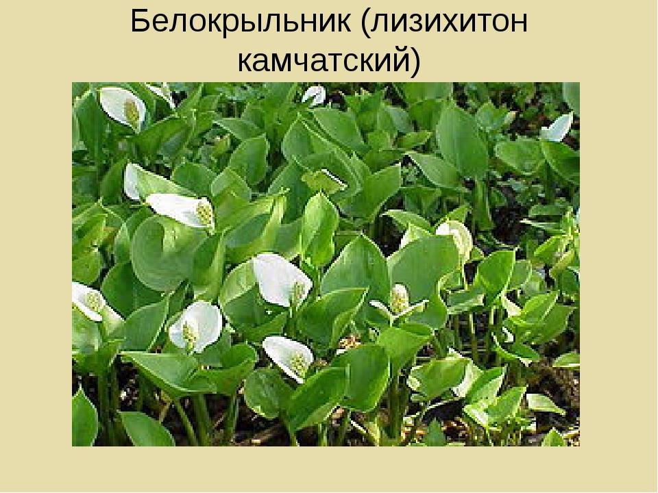 Белокрыльник (лизихитон камчатский)