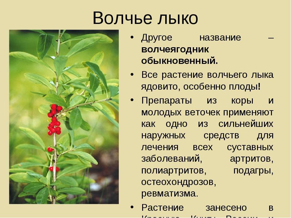 Волчье лыко Другое название – волчеягодник обыкновенный. Все растение волчьег...