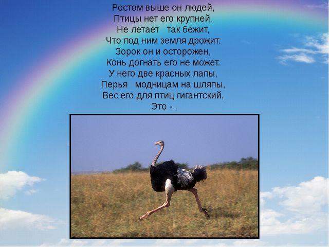 Ростом выше он людей, Птицы нет его крупней. Не летает так бежит, Что по...