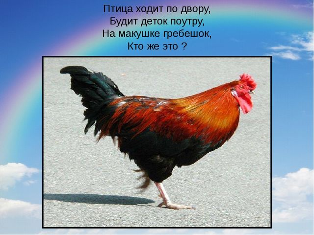 Птица ходит по двору, Будит деток поутру, На макушке гребешок, Кто же это ?