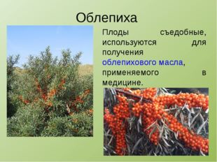 Облепиха Плоды съедобные, используются для получения облепихового масла, прим