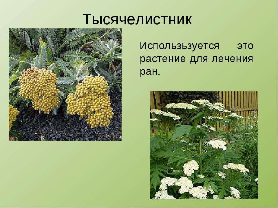 Тысячелистник Использьзуется это растение для лечения ран.