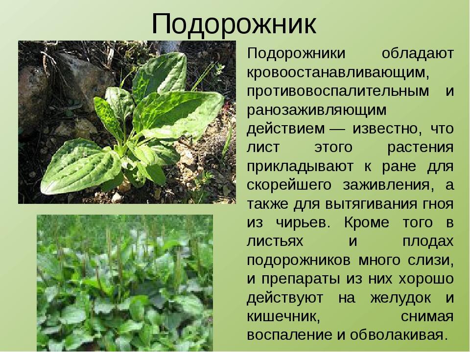 Лекарственные растения сахалина фото