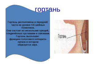 гортань Гортань расположена в передней части на уровне 4-6 шейных позвонков.
