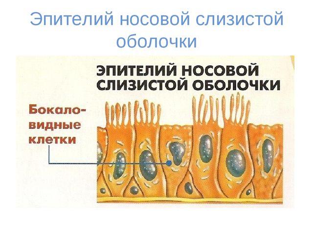 Эпителий носовой слизистой оболочки