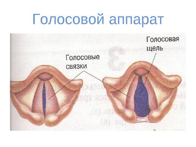 Голосовой аппарат