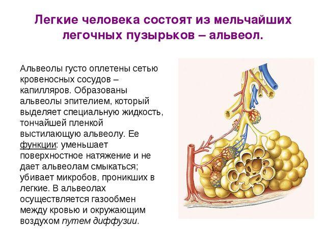Легкие человека состоят из мельчайших легочных пузырьков – альвеол. Альвеолы...