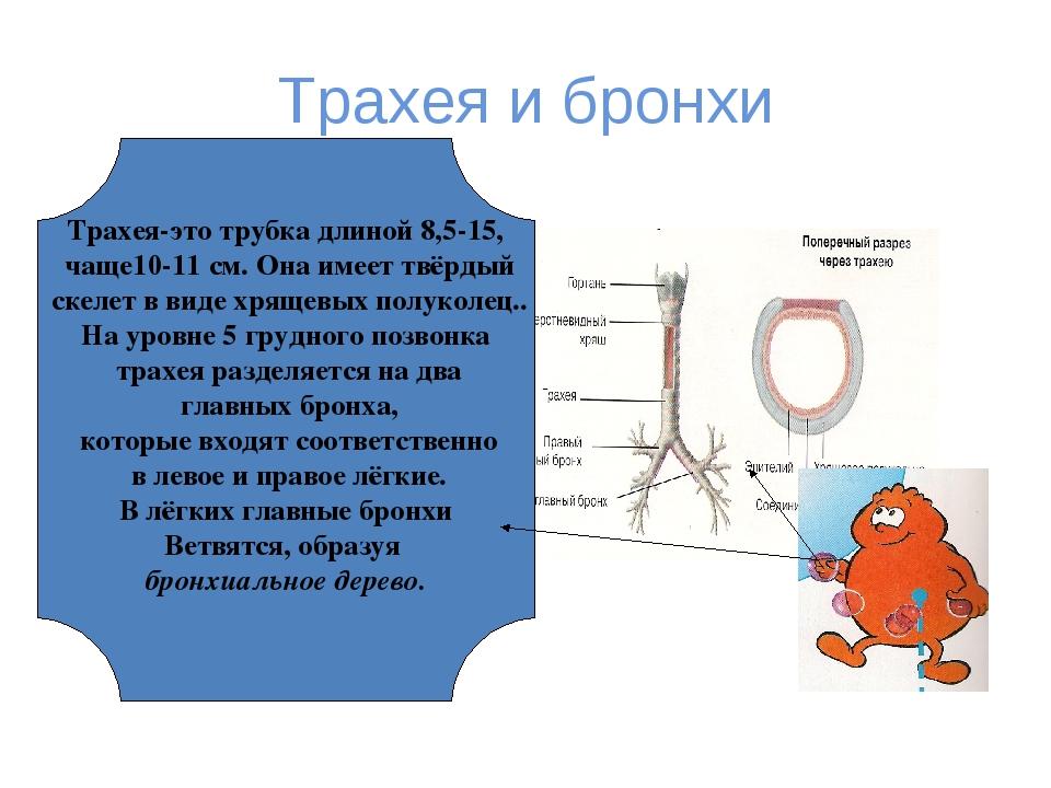 Трахея и бронхи Трахея-это трубка длиной 8,5-15, чаще10-11 см. Она имеет твёр...