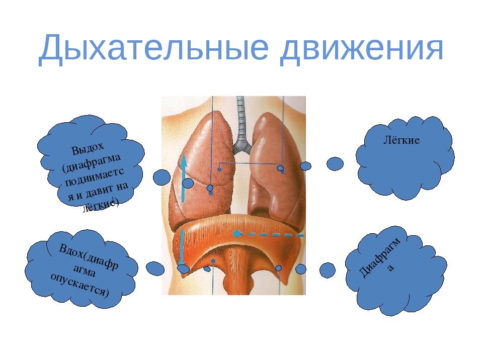 Дыхательные движения Лёгкие Диафрагма Вдох(диафрагма опускается) Выдох (диафр...