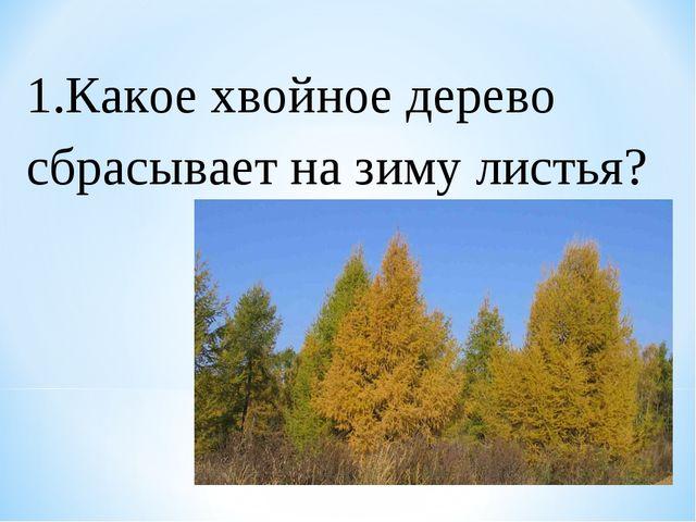 1.Какое хвойное дерево сбрасывает на зиму листья?