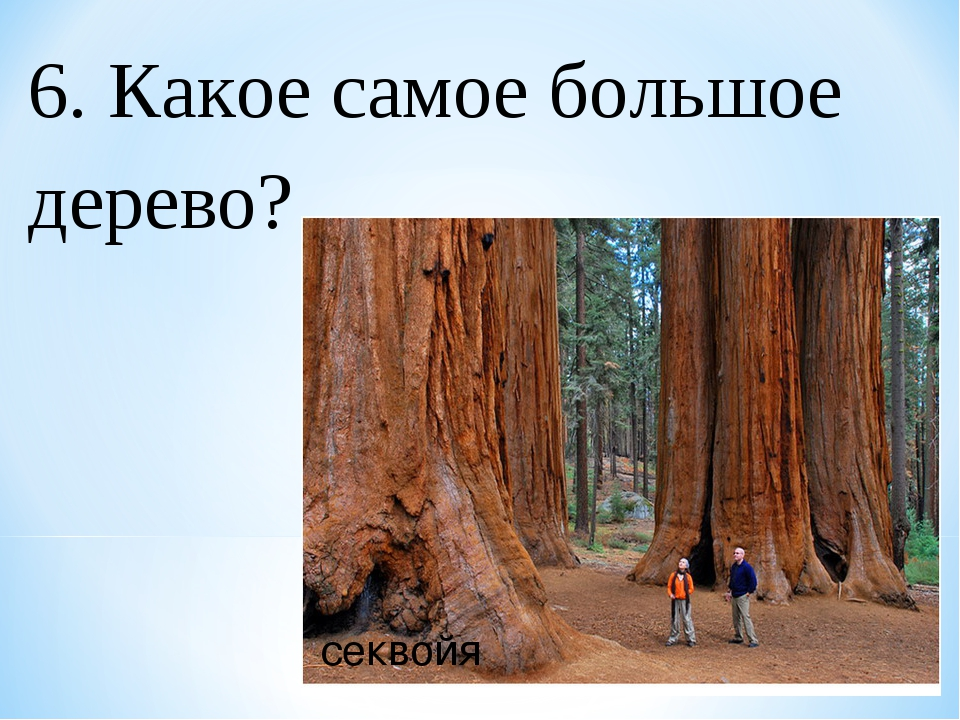 6. Какое самое большое дерево? секвойя