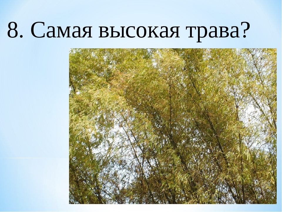 8. Самая высокая трава?