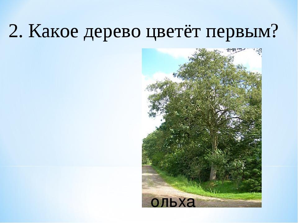 2. Какое дерево цветёт первым? ольха