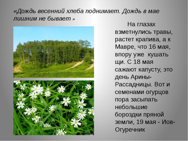 .    На глазах взметнулись травы, растет крапива, а к Мавре, что 16 мая,...