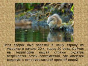 Этот зверек был завезен в нашу страну из Америки в начале 20-х годов 20 века.
