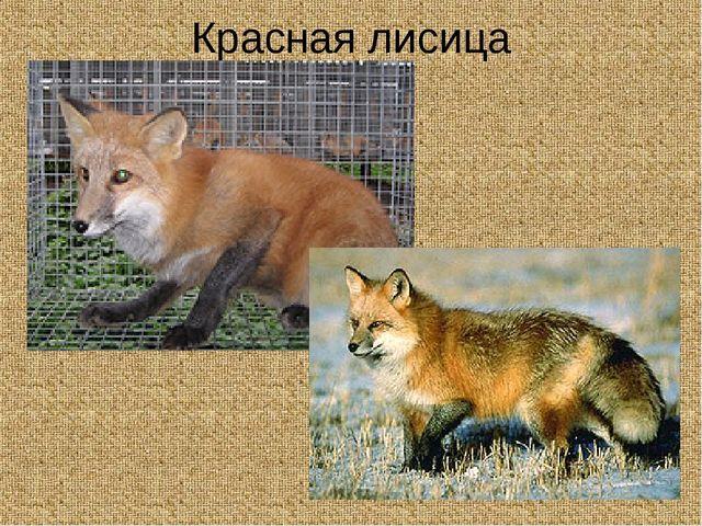 Красная лисица