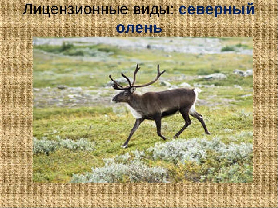 Лицензионные виды: северный олень