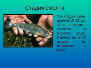 Стадия смолта Это стадия рыбы длиной 10-12 см. Они начинают тяготеть к морско