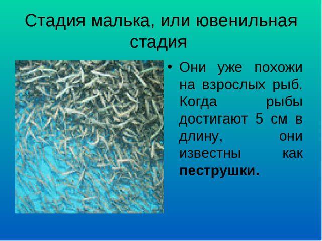 Стадия малька, или ювенильная стадия Они уже похожи на взрослых рыб. Когда ры...