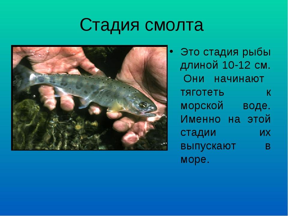 Стадия смолта Это стадия рыбы длиной 10-12 см. Они начинают тяготеть к морско...