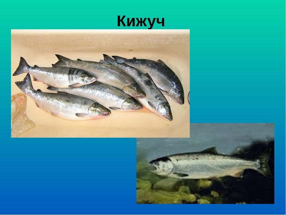 Кижуч