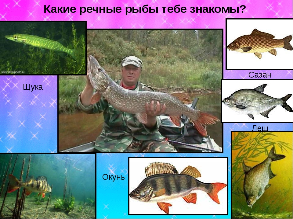 Окунь Лещ Сазан Щука Какие речные рыбы тебе знакомы?