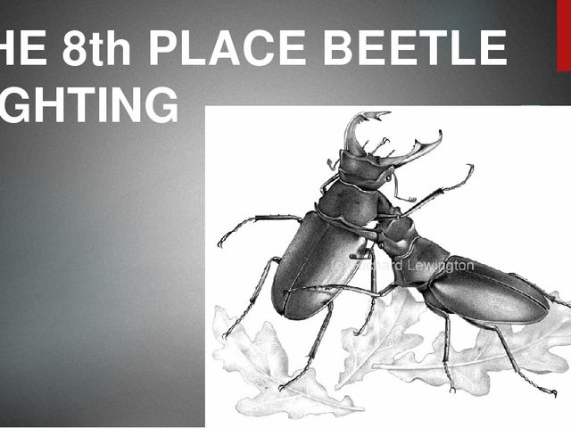 THE 8th PLACE BEETLE FIGHTING