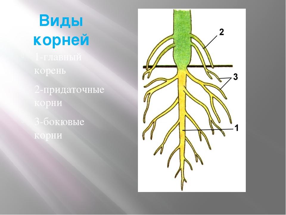 Виды корней 1-главный корень 2-придаточные корни 3-бокювые корни