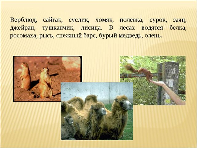 Верблюд, сайгак, суслик, хомяк, полёвка, сурок, заяц, джейран, тушканчик, ли...