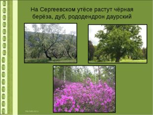 На Сергеевском утёсе растут чёрная берёза, дуб, рододендрон даурский