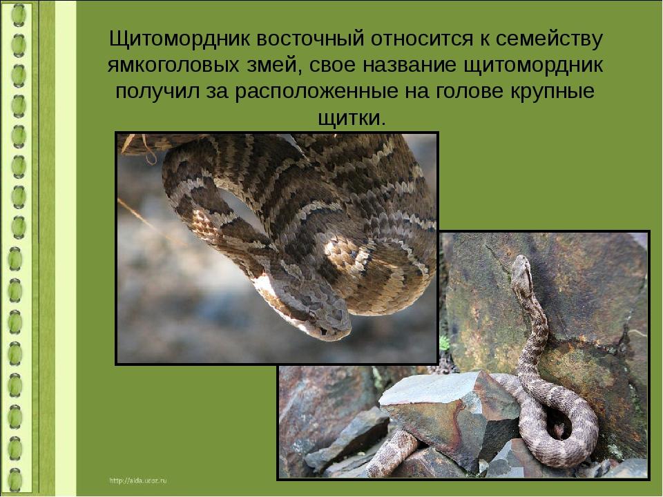 Щитомордник восточный относится к семейству ямкоголовых змей, свое название щ...