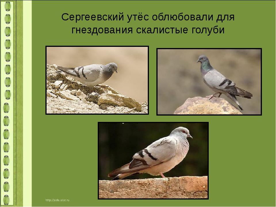 Сергеевский утёс облюбовали для гнездования скалистые голуби