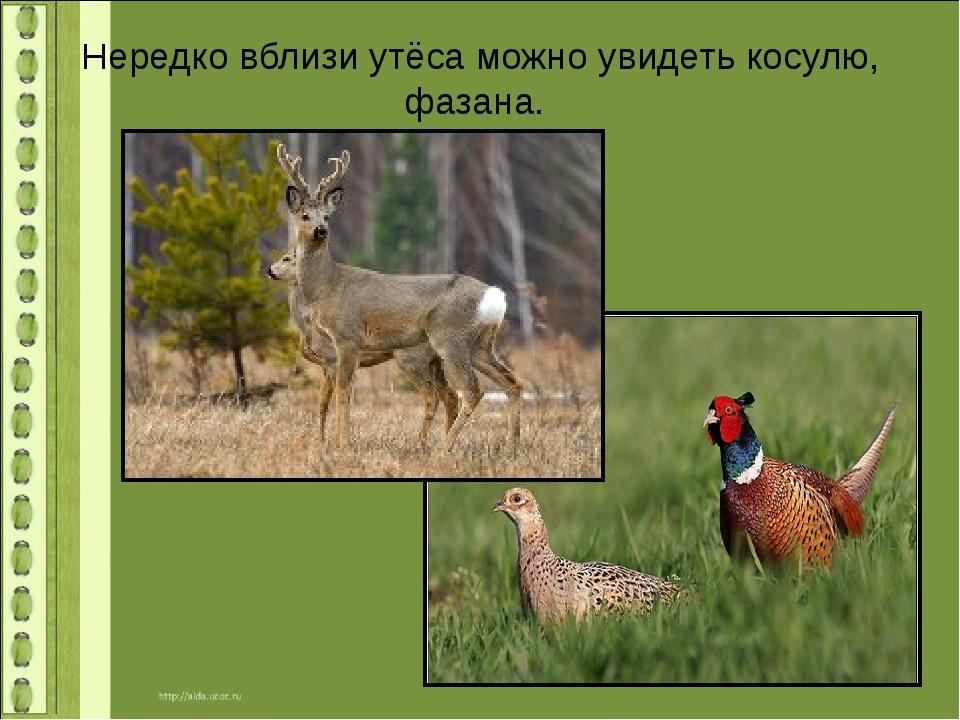 Нередко вблизи утёса можно увидеть косулю, фазана.