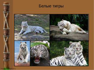 Белые тигры FokinaLida.75@mail.ru