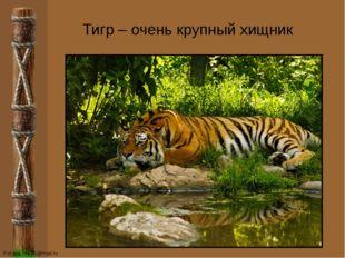 Тигр – очень крупный хищник FokinaLida.75@mail.ru