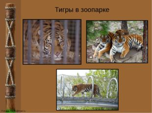 Тигры в зоопарке FokinaLida.75@mail.ru