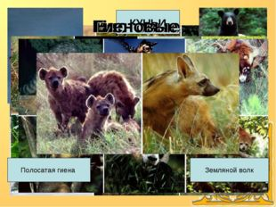 Классификация Медвежьи КУНЬИ Енотовые Гиеновые Полосатая гиена Земляной волк