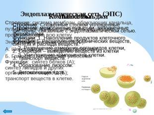 Митохондрии Строение: две мембраны (наружная и внутренняя) – образует выросты